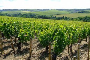 Vineyards in Chablis, Burgundy